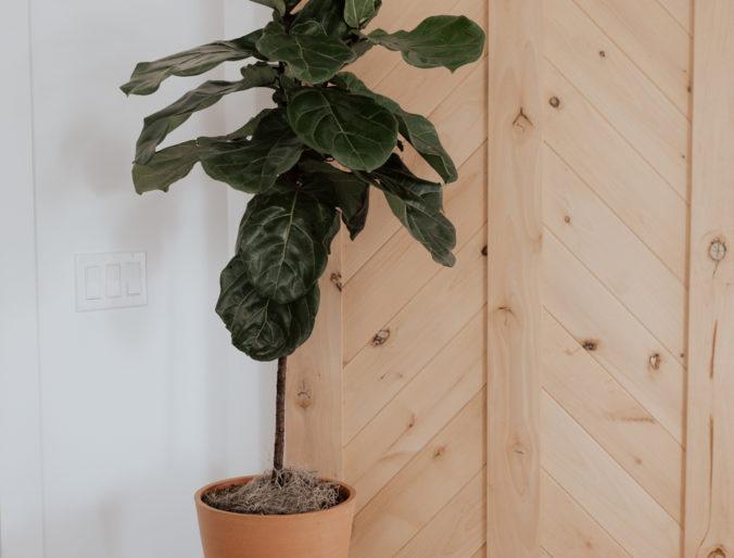 boho feel home with plants and greenery // fiddle leaf fig, snake plant, aloe plant, bohemian style living room
